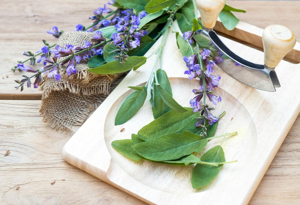 Šalvěj lékařská – všestranný lék na naše různé neduhy
